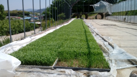 Rice sprouts look like a fresh new lawn.